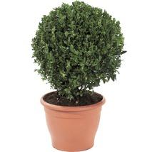 Buchsbaum-Kugel FloraSelf Buxus sempervirens H 35-40 cm Co 10 L-thumb-0