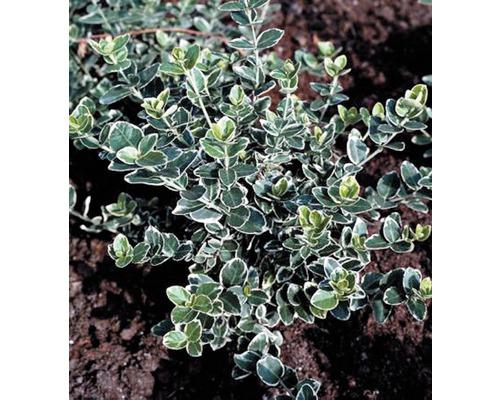 12 x Fusain de Fortune FloraSelf blanc multicolore Euonymus fortunei ''Emerald n Gaiety'' H 10-15 cm Co 0,3 L