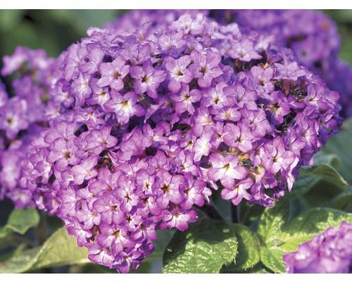 Fleur de vanille FloraSelf Heliotropium arborescens pot Ø 10,5 cm