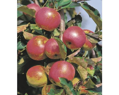 Säulenapfel Malus domestica Starline ® 'Red River' H 150-180 cm Co 10 L