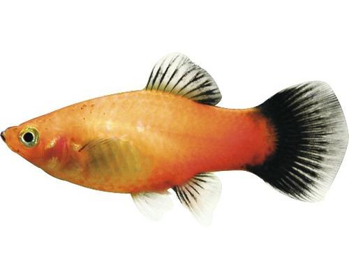 Poisson platys panachage de rouge - Xiphophorus maculatus