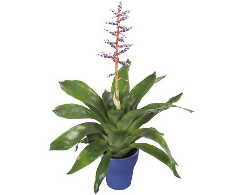 Broméliacée FloraSelf Aechmea x Hybride H20cm pot Ø15cm