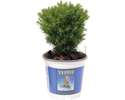 Thuya occidental FloraSelf Thuja occidentalis ''Teddy'' H15-20cm Co 1,5L