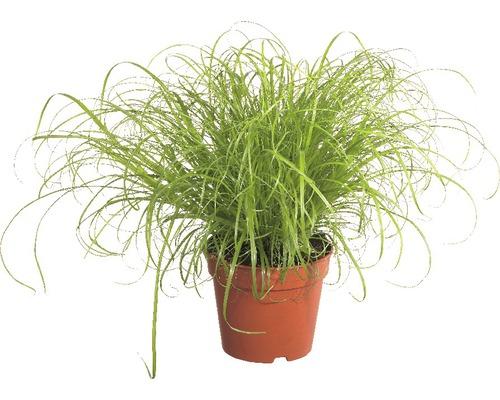 2 x herbes à chat ''Zumula'' PetSnack FloraSelf Cyperus alternifolius ''Zumula'' H 15-25 cmØ 12 cm pot