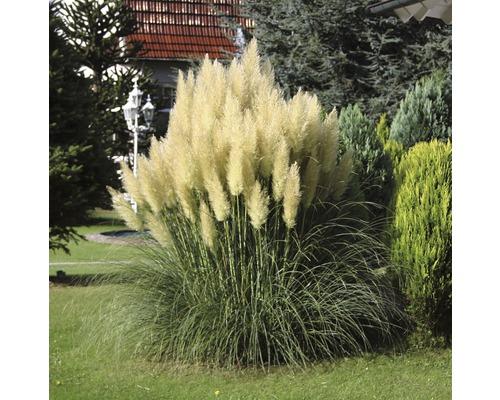 Petite herbe de la pampa, herbe de la pampa naine FloraSelf Cortaderia selloana ''Pumila'' H 15-40 cm Co 2 l