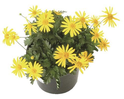 Euryops chrysanthemoides jaune pot Ø 11 cm