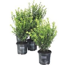 Buchsbaum FloraSelf H 25-30 cm Co 1 L (10 Stk)-thumb-0