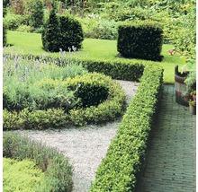 Buchsbaum FloraSelf H 25-30 cm Co 1 L (10 Stk)-thumb-2