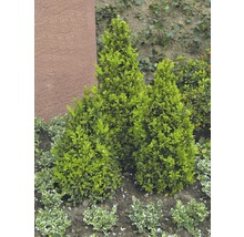 Buchsbaum FloraSelf H 25-30 cm Co 1 L (10 Stk)-thumb-3