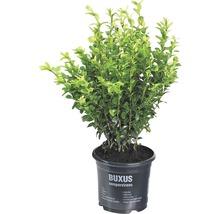 Buchsbaum FloraSelf H 25-30 cm Co 1 L (10 Stk)-thumb-1