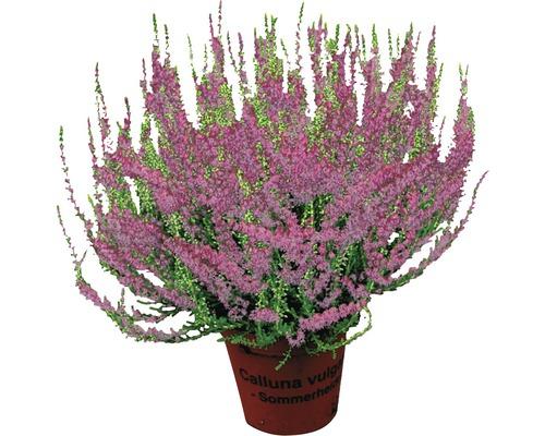 Besenheide, Heidekraut Calluna vulgaris ''Beauty Ladies'' Ø 9,5 cm Topf versch. Farben