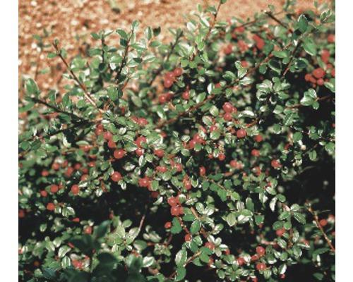 12 x Cotonéaster de Dammer FloraSelf Cotoneaster dammeri radicans H 10-15 cm