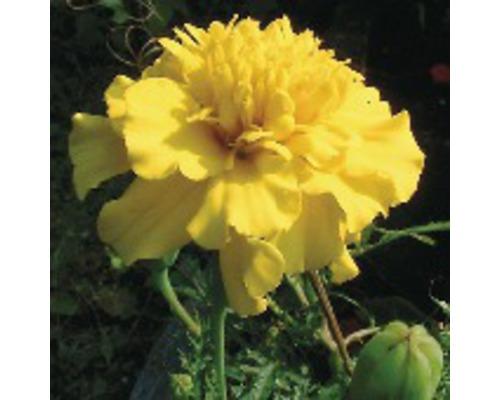 Studentenblume Tagetes patula ''Nana'' Ø 9 cm Topf