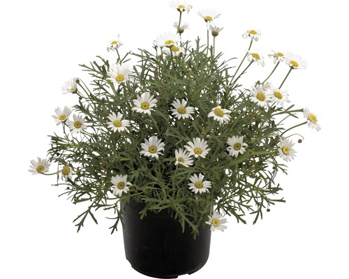 Chrysanthème frutescent FloraSelf H 40-60 Ø 18 cm