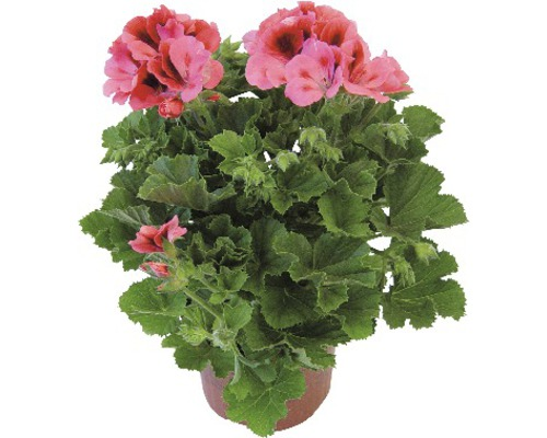 Géranium à grandes fleurs Pelargonium grandiflora pot Ø12cm