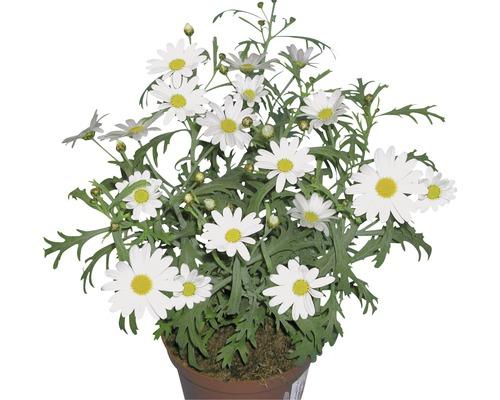 Chrysanthème FloraSelf Chrysanthemum frutescens pot Ø11cm