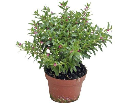 Cuphea à feuilles d'hyssope Cuphea hyssopifolia pot Ø11cm