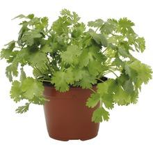 Persil FloraSelf Bio Petroselinum crispum ''Plat'' pot Ø 12 cm-thumb-0