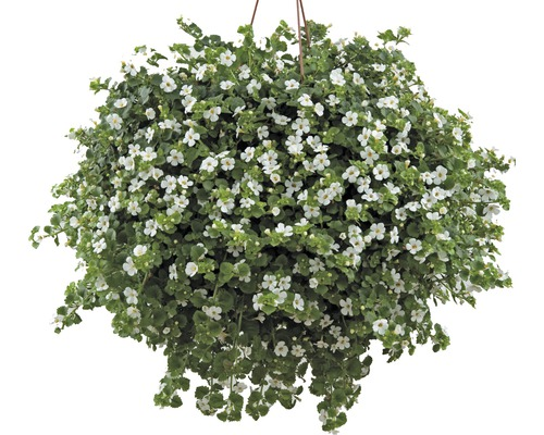 Bacopa FloraSelf® pot de 10.5, blanc