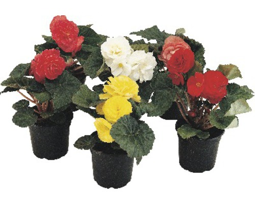 Begonia tuberhybrida FloraSelf® pot de 12 différentes couleurs