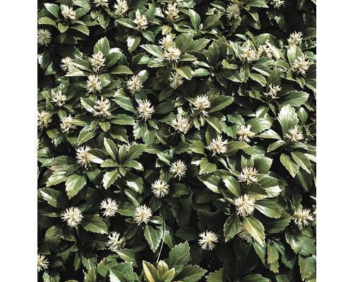 12 x pachysandre du Japon FloraSelf Pachysandra terminalis H10-15cm