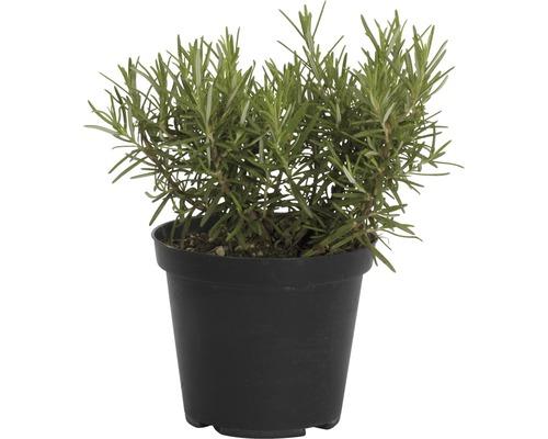 Romarin FloraSelf Rosmarinus officinalis ''Riviera'' pot Ø 14 cm
