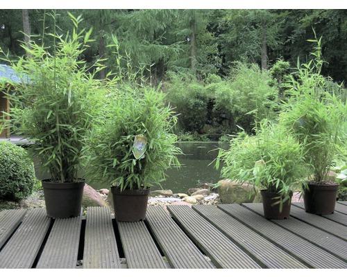 Bambou de jardin compact FloraSelf Fargesia murielae ''Simba'' H60-80 cm Co 7,5 l