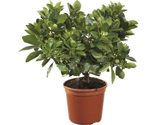 Calamondin-Orange FloraSelf pot fe 15cm
