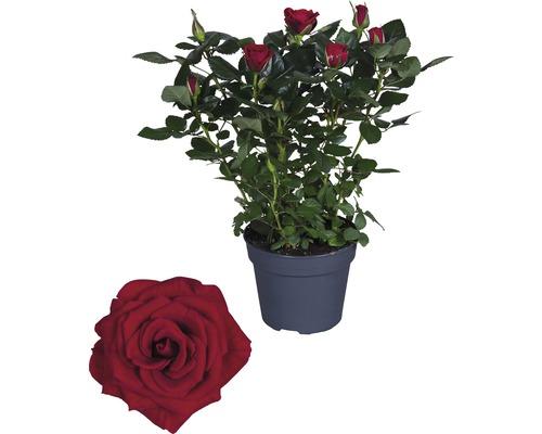 Rose FloraSelf Rosa Hybride ''Isabel'' H30-40 cm Ø 13 cm pot