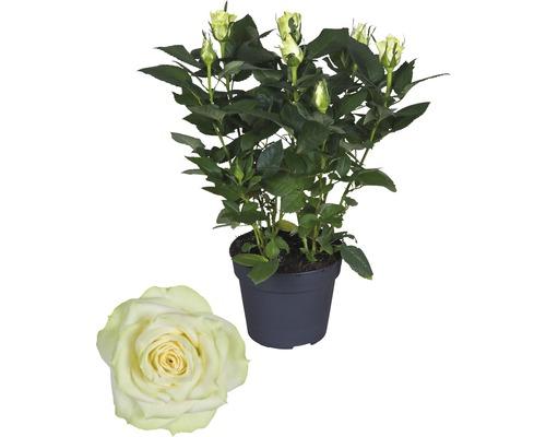 Rose FloraSelf Rosa Hybride ''Honora'' H30-40 cm Ø 13 cm pot-0