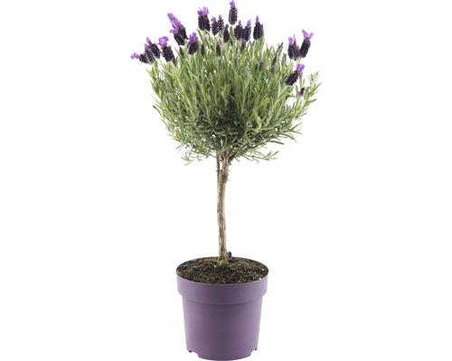 Lavande papillon FloraSelf® Lavandula stoechas ''Anouk'' arbuste H 55cm Ø 14cm