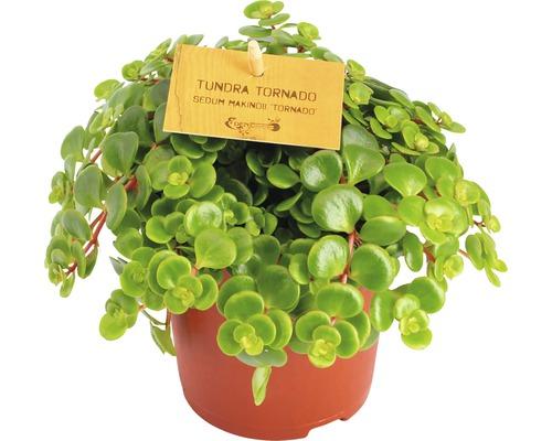 Succulente Grassette commune- Sedum makinoii H 15-20cm