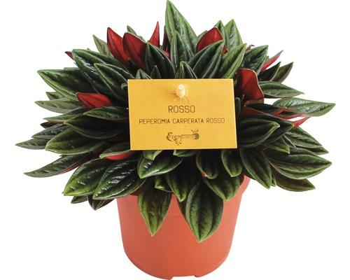 Peperomia verticillata FloraSelf Peperomia rosso pot de 10,5 cm