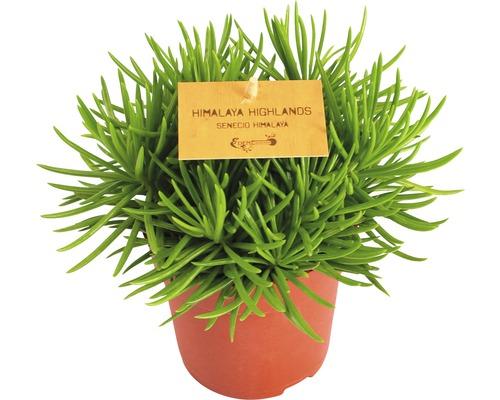 Séneçon FloraSelf Senecio himalaya pot de 10,5 cm
