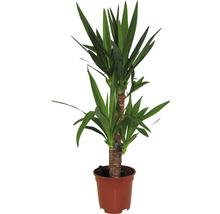 Yucca filamenteux H 65-80 cm-thumb-0