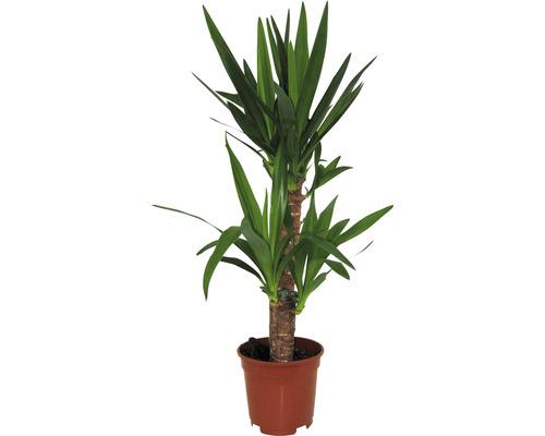 Yucca filamenteux H 65-80 cm-0