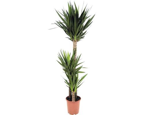 Yucca filamenteux H 140-155 cm