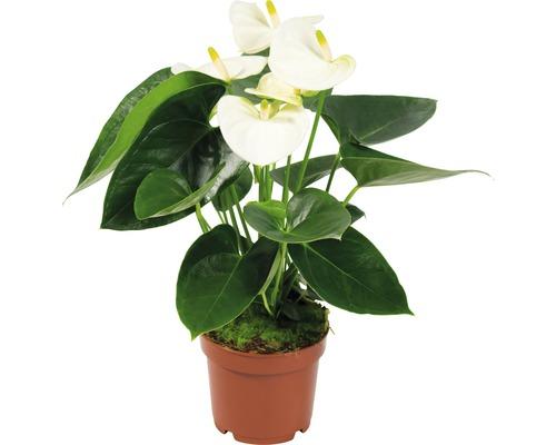 Langue de feu FloraSelf Anthurium andreanum ''Sierra'' H 40 cm pot Ø 12 cm