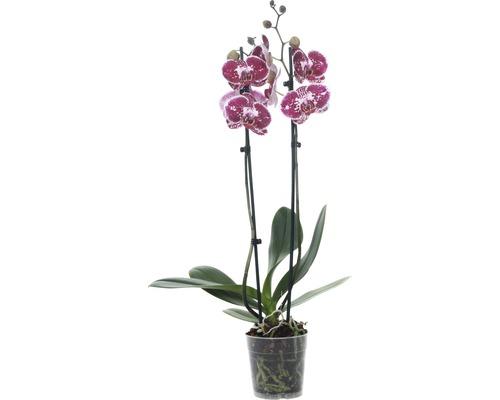 Orchidée papillon FloraSelf Phalaenopsis multiflora ''Chien Xen Pearl'' H 55-70 cm pot Ø 12 cm 2 panicules
