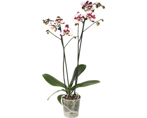 Orchidée papillon FloraSelf Phalaenopsis Hybride ''Polka Dots'' H 55-70 cm pot Ø 12 cm 2 panicules