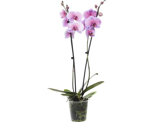 Orchidée papillon FloraSelf Phalaenopsis Hybride ''Royal Sensation'' H 55-70 cm pot Ø 12 cm 2 panicules