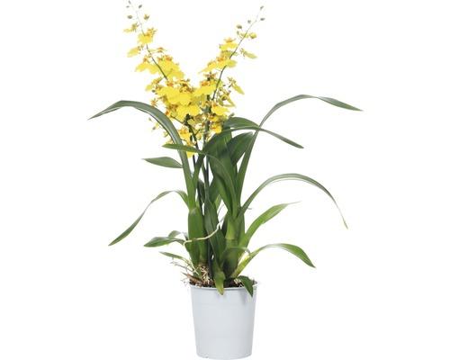 Orchidée cymbidium FloraSelf Oncidium Hybride ''Munsterland Stern'' H 55-70 cm pot Ø 12 cm 2 panicules