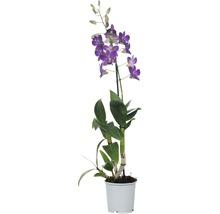 Dendrobie FloraSelf Dendrobium sanook ''Blue Happiness'' H 55-70 cm pot Ø 11 cm 1 panicule-thumb-0