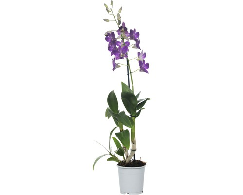 Dendrobie FloraSelf Dendrobium sanook ''Blue Happiness'' H 55-70 cm pot Ø 11 cm 1 panicule