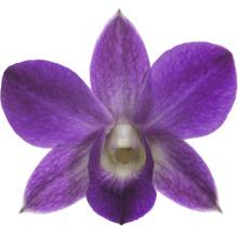 Dendrobie FloraSelf Dendrobium sanook ''Blue Happiness'' H 55-70 cm pot Ø 11 cm 1 panicule-thumb-1