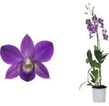 Dendrobie FloraSelf Dendrobium sanook ''Blue Happiness'' H 55-70 cm pot Ø 11 cm 1 panicule-thumb-3