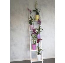 Dendrobie FloraSelf Dendrobium sanook ''Blue Happiness'' H 55-70 cm pot Ø 11 cm 1 panicule-thumb-2