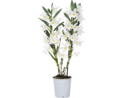 Dendrobium nobile FloraSelf ''Kumiko'' H 50-65 cm pot Ø 12 cm 2 panicules