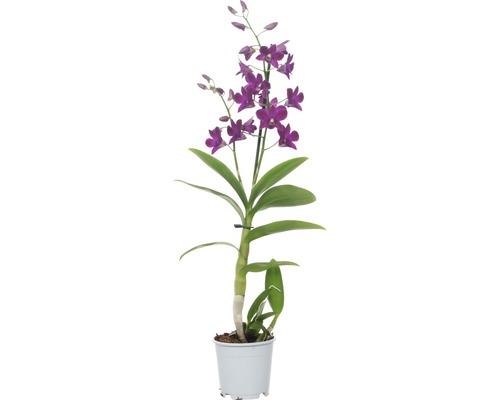 Dendrobie FloraSelf Dendrobium sanook ''Purple Happiness'' H 55-70 cm pot Ø 11 cm 1 panicule