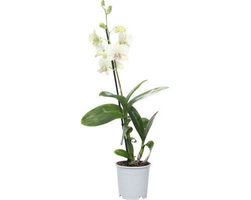 Dendrobie FloraSelf Dendrobium sanook ''Snow Jade'' H 55-70 cm pot Ø 11 cm 1 panicule
